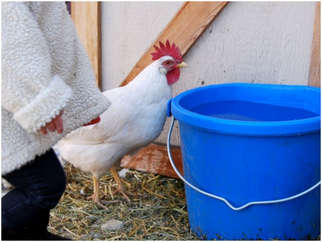 A Denver Home Companion | chickens in the city