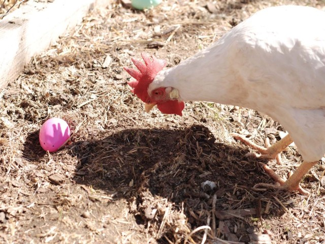 A Denver Home Companion | backyard chickens